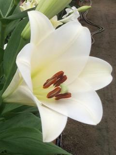 Lily 'Selene'