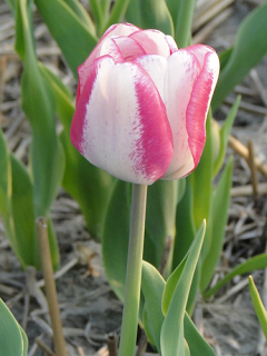 Tulip 'Hot Pants'