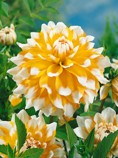 Dahlia 'Seattle' (Pack of 3 Tubers/Bulbs)
