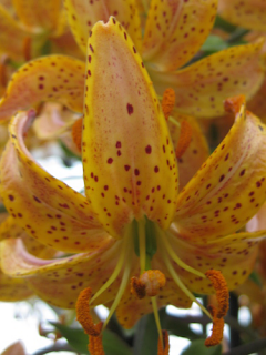 Guinea Gold Martagon Lily