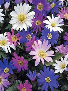 Anemone Blanda Mixed (Pack of 20 Bulbs)