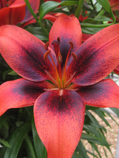 Lily 'London Heart'