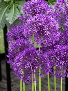 Allium Purple Rain (Pack of 10 Bulbs)