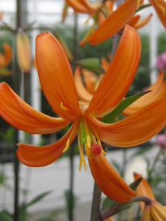 Orange Marmalade Martagon Lily