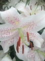 Lilium Muscadet lily bulbs