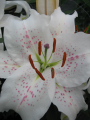 Lily 'Muscadet'