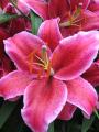 Lily 'Corvara'