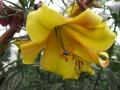 Golden Splendour Close Up