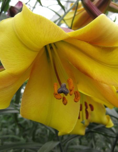 Lily 'Golden Splendour'