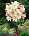 Lilium Regale in flower