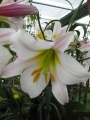 Regale Lily in flower