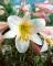 Lilium Regale, Trumpet lily