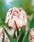 Carnaval De Nice Tulip Close Up