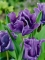 Blue Parrot Tulip Close up