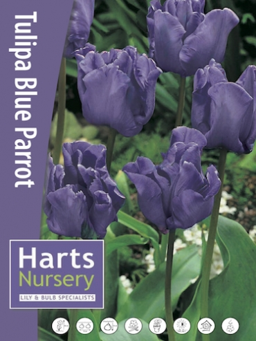 Blue Parrot (Pack of 20 Bulbs)