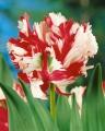 Estella Rynveld Tulip Close Up