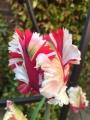 Estella Rynveld Tulip