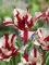 Estella Rynveld Tulips