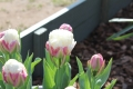 Group of Ice Cream Tulips