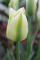 Spring Green Tulip