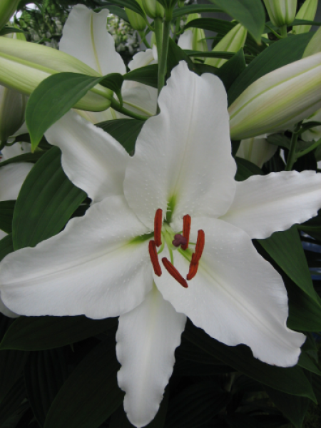 Lily 'Casa Blanca'