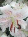 Extravaganza Lilies
