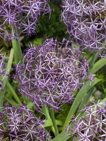 Allium Christophii (Pack of 10 Bulbs)