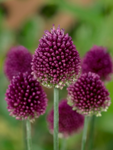 Allium Drumstick (Pack of 20 Bulbs)