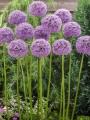 Allium Giganteum Bulbs grown in a clump