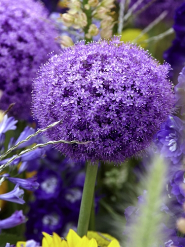Allium Gladiator (Pack of 5 Bulbs)