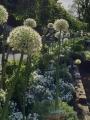 Allium Mount Everest planted in raised beds