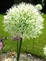 Allium Mount Everest (Pack of 5 Bulbs)