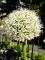 Mount Everest Allium White