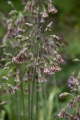 Allium Nectaroscordum Close Up