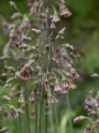Allium Nectaroscordum (Pack of 10 Bulbs)