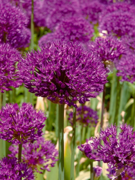 Allium Purple Sensation (Pack of 10 Bulbs)