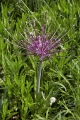 Allium Schubertii in the Garden