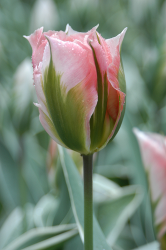 Tulip 'China Town' (Pack of 15 Bulbs)
