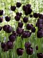 Queen of night tulips