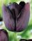 Queen of Night Tulip bulbs