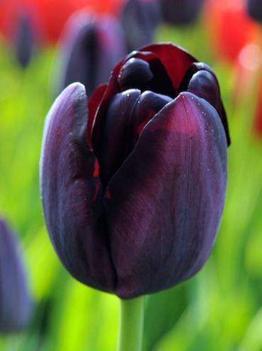 Tulip 'Queen of Night' (Pack of 15 Bulbs)