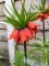 Fritillaria Imperialis Rubra Maxima (Pack of 3 Bulbs)