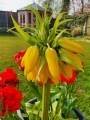Crown Imperial Yellow