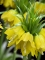 Fritillaria Imperialis Maxima Lutea (Pack of 3 Bulbs)