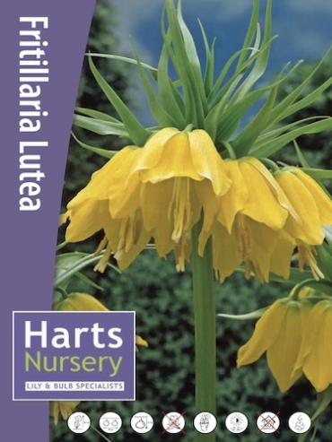 Fritillaria Imperialis Maxima Lutea (Pack of 3 Bulbs)