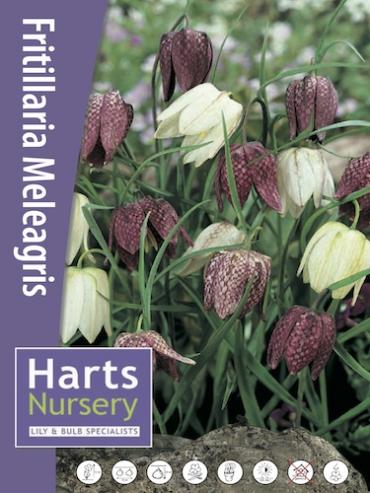 Fritillaria Meleagris (Pack of 20 Bulbs)