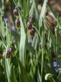 Fritillaria Assyriaca/Uva Vulpis (Pack of 20 Bulbs)