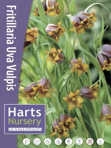 Fritillaria Assyriaca/Uva Vulpis (Pack of 20 Bulbs)