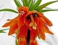 Orange Crown Imperial