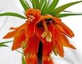 Orange Crown Imperial